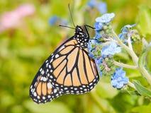 在浅蓝色中国勿忘草花的黑脉金斑蝶 免版税库存照片