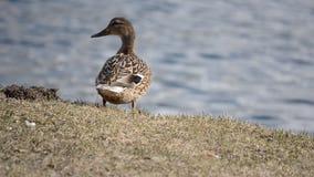 在浅褐色的象草的领域的美丽的母野鸭鸭子在公海旁边在背景中 股票视频