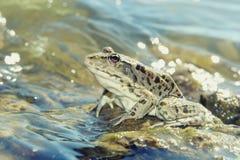 在浅闪烁的水关闭的绿色大青蛙 库存图片