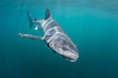 在浅水区的蓝鲨鱼游泳 库存照片