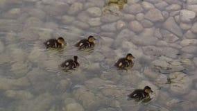 在浅水区的鸭子 免版税库存图片