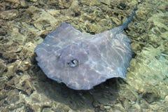 在浅水区的黄貂鱼游泳在烟草Caye,伯利兹海岸  免版税库存图片