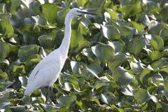 在浅水区站立的小白鹭用叶子o盖了 免版税库存图片