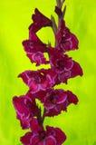 在浅绿色的背景的开花的剑兰 免版税库存图片