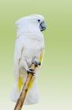 在浅绿色的背景的白色鹦鹉 库存图片
