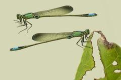 在浅绿色的蜻蜓被隔绝的 库存图片