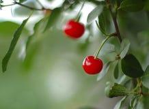 在浆果附近樱桃离开对结构树 免版税图库摄影