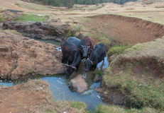 在浇灌的埃赛俄比亚的母牛 免版税库存照片