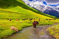 在浇灌的牛在山。 免版税库存图片
