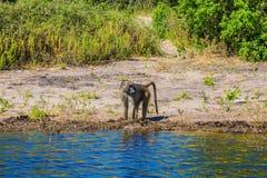 在浇灌的猴子狒狒 库存照片