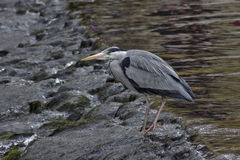 在测流堰的灰色苍鹭 库存照片