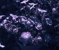 在浪漫最佳的月光的喇叭花 库存图片