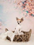 在浪漫设置的奇瓦瓦狗狗 免版税库存照片