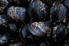在浪潮水池的太平洋海岸淡菜 免版税库存图片