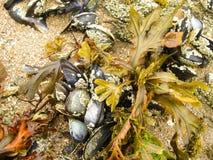 在浪潮以后的海草和贝类淡菜 免版税库存图片
