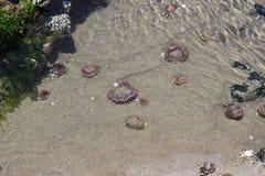 在浪潮水池的桃红色海洋生活 图库摄影