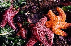 在浪潮水池的海星 免版税图库摄影