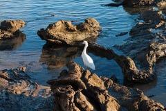 在浪潮水池的白鹭 免版税库存图片