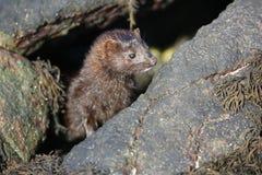 在浪潮水池的貂皮Neovison vison狩猎食物的 图库摄影