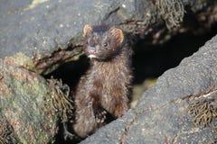 在浪潮水池的貂皮Neovison vison狩猎食物的 免版税库存图片