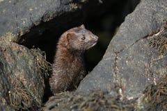 在浪潮水池的貂皮Neovison vison狩猎食物的 库存照片