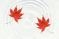在浪端的白色泡沫波纹的日本红槭叶子 库存照片