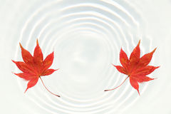 在浪端的白色泡沫波纹的日本红槭叶子 库存图片