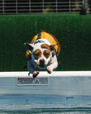 在浮动背心潜水的狗到水池里 免版税库存照片