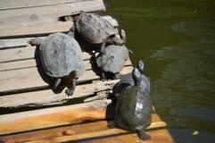 在浮游物的多只日本乌龟 图库摄影