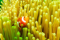 在浮游生物水花期间的Clownfish 库存图片