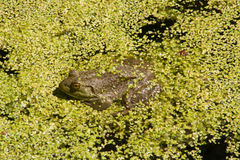 在浮萍的牛蛙 免版税库存照片