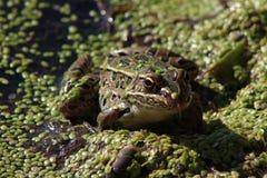 在浮萍的豹子青蛙 免版税库存图片