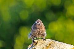 在浴以后的全身湿透的海角歌手鸟 免版税库存照片
