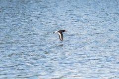 在海上的欧亚蛎鹬飞行 库存图片