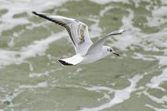 在海上的海鸥飞行 免版税库存照片
