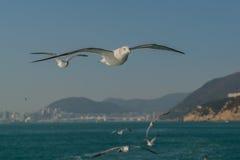 在海上的海鸥 库存图片