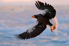在海上的老鹰飞行 美丽的Steller ` s海鹰, Haliaeetus pelagicus,飞行的鸷,与蓝色海水, Hokkaid 库存图片
