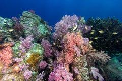 在海下的五颜六色的软的珊瑚 免版税图库摄影