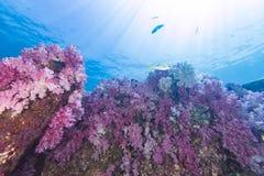 在海下的五颜六色的软的珊瑚 库存图片