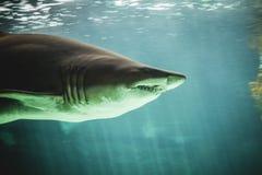 在海下的危险和巨大的鲨鱼游泳 库存照片