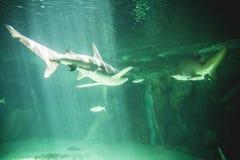 在海下的危险和巨大的鲨鱼游泳 免版税库存图片