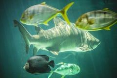 在海下的危险和巨大的鲨鱼游泳 图库摄影