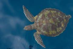 在海下的绿浪乌龟Similan海岛下潜的在Thailan 库存图片