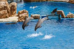 在海世界的海豚展示 图库摄影