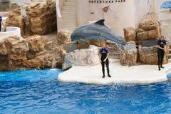 在海世界的海豚展示 免版税库存图片