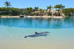 在海世界英属黄金海岸澳大利亚的俘虏海豚 库存图片