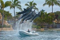 在海世界英属黄金海岸澳大利亚的海豚展示 图库摄影