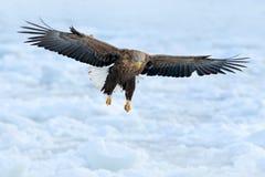 在海冰上的老鹰飞行 与鸷的冬天场面 大老鹰,雪海 飞行白被盯梢的老鹰, Haliaeetus albicilla 库存图片