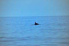 在海和天空亚得里亚海,蓝色树荫的野生海豚  免版税库存照片