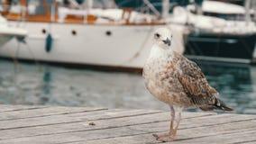 在海和航行的背景的美丽的大白色海鸥 一只大白色海鸥是的海湾和系泊 股票视频